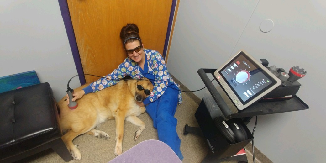 laser therapy used on golden retreiver